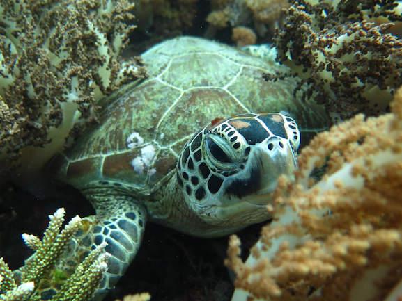 sea turtle dive snorkeling komodo